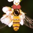 Common Oblique Syrphid - Allograpta obliqua