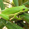 Green Treefrog - Hyla cinerea
