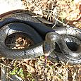 Black Racer - Coluber constrictor #1