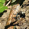 Eastern Fence Lizard - Sceloporus undulatus ♂