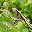 Chinese Mantis - Tenodera sinensis