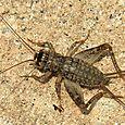 Japanese Burrowing Cricket - Velarifictorus micado