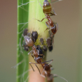 Argentine Ants - Linepithema humile with Aphis sp. Aphids