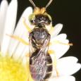 Calliopsis andreniformis