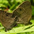 Carolina Satyr - Hermeuptychia sosybius ♂♀