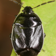 White-margined Burrower Bug - Sehirus cinctus