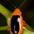 Passionflower Flea Beetle - Disonycha discoidea