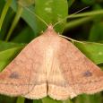 Vetch Looper Moth - Caenurgia chloropha