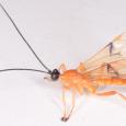 Acrotaphus wiltii ♂