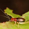 Red-headed Bush Cricket - Phyllopalpus pulchellus