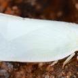 Northern Flatid Planthopper - Flatormenis proxima