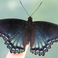 Red-spotted Purple - Limenitis arthemis astyanax