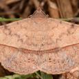 Velvetbean Caterpillar Moth - Anticarsia gemmatalis
